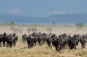 A herd of blue wildebeest (gnu) (Connochaetes taurinus), Ndutu, Ngorongoro Conservation Area, Serengの写真素材 [FYI03790620]