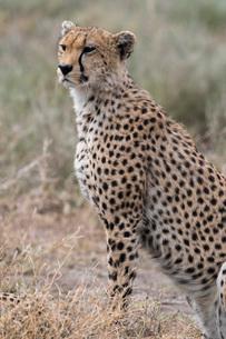Cheetah (Acinonyx jubatus), Ndutu, Ngorongoro Conservation Area, Serengeti, Tanzania, East Africa, Aの写真素材 [FYI03790623]