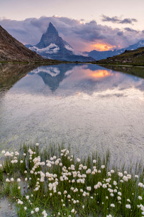 Cotton grass on the shore of lake Riffelsee with the Matterhorn in the background, Zermatt, canton oの写真素材 [FYI03790833]
