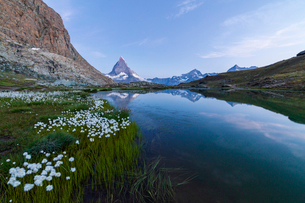 Cotton grass on the shore of lake Riffelsee with the Matterhorn in the background, Zermatt, canton oの写真素材 [FYI03790842]
