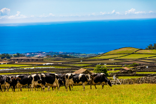 Scenic view with cows on Terceira Island in the Azores, Portugal, Atlantic, Europeの写真素材 [FYI03790859]