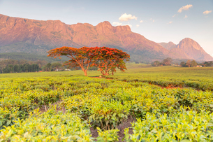 Cultivation of tea in the south of Malawi, East Africa, Africaの写真素材 [FYI03791130]