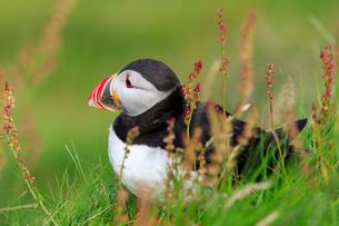 Atlantic puffin (Fratercula arctica), red grasses, Sumburgh Head, South Mainland, Shetland Islands,の写真素材 [FYI03791160]