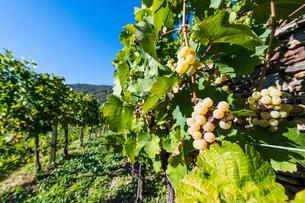 Vineyards overlooking Spitz on the Wachau, UNESCO World Heritage Site, Austria, Europeの写真素材 [FYI03791223]