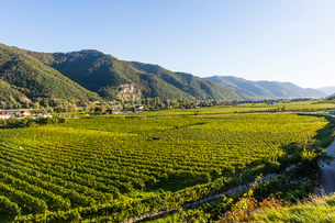 Vineyards in Weissenkirchen on the Danube, Wachau, UNESCO World Heritage Site, Austria, Europeの写真素材 [FYI03791230]