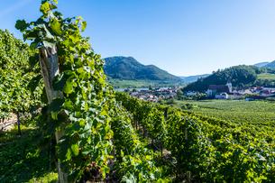 Vineyards overlooking Spitz on the Wachau, UNESCO World Heritage Site, Austria, Europeの写真素材 [FYI03791232]