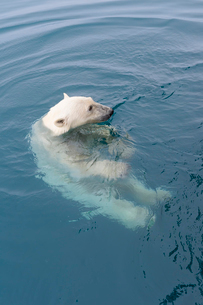 Curious Polar Bear (Ursus maritimus) swimming around an expedition ship and looking up, Svalbard Arcの写真素材 [FYI03791270]