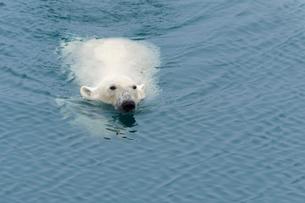 Polar Bear (Ursus maritimus) swimming, Svalbard Archipelago, Arctic, Norway, Europeの写真素材 [FYI03791275]
