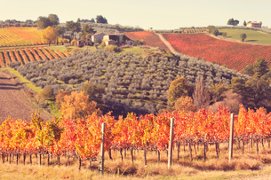 Vineyards of Sagrantino di Montefalco in autumn, Umbria, Italy, Europeの写真素材 [FYI03791399]