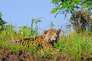 Jaguar (Panthera Onca) on a riverbank, Cuiaba River, Porto Jofre, Pantanal Matogrossense, Mato Grossの写真素材 [FYI03791439]