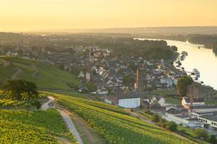 Vineyards and River Rhine at sunrise, Rudesheim, Rhineland-Palatinate, Germany, Europeの写真素材 [FYI03791583]