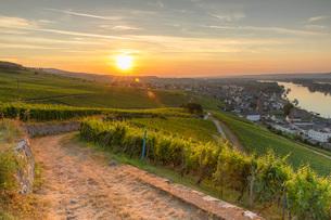 Vineyards at sunrise, Rudesheim, Rhineland-Palatinate, Germany, Europeの写真素材 [FYI03791585]