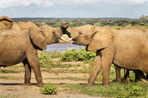 Two young elephants tussling, Samburu National Reserve, Kenya, East Africa, Africaの写真素材 [FYI03791902]