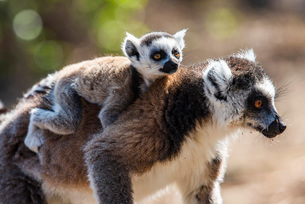Ring-tailed Lemur and its baby (Lemur catta), Anja Community Reserve, Haute Matsiatra Region, Madagaの写真素材 [FYI03792138]