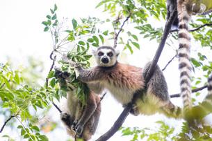 Ring-tailed Lemur (Lemur catta), Anja Community Reserve, Haute Matsiatra Region, Madagascar, Africaの写真素材 [FYI03792146]