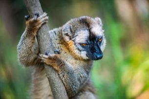 Common Brown Lemur (Eulemur fulvus), Andasibe, Madagascar, Africaの写真素材 [FYI03792150]