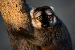 Common Brown Lemur (Eulemur fulvus), Andasibe, Madagascar, Africaの写真素材 [FYI03792158]