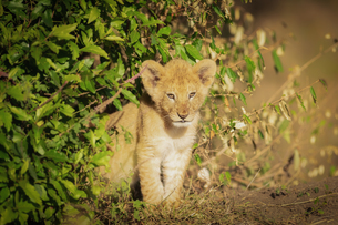 Lion cub, Masai Mara, Kenya, East Africa, Africaの写真素材 [FYI03792262]