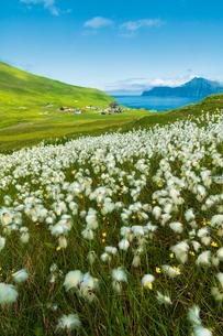 Cotton grass during summer bloom, Gjogv, Eysturoy island, Faroe Islands, Denmark, Europeの写真素材 [FYI03792370]