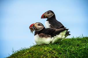 Atlantic puffins on grass, Mykines island, Faroe Islands, Denmark, Europeの写真素材 [FYI03792386]