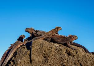 Marine iguanas (Amblyrhynchus cristatus), San Cristobal (Chatham) Island, Galapagos, UNESCO World Heの写真素材 [FYI03792452]
