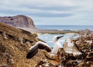 Blue-footed booby juvenile (Sula nebouxii), Punta Pitt, San Cristobal (Chatham) Island, Galapagos, Uの写真素材 [FYI03792460]