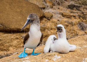 Blue-footed boobies (Sula nebouxii), juvenile and adult, Punta Pitt, San Cristobal (Chatham) Island,の写真素材 [FYI03792466]