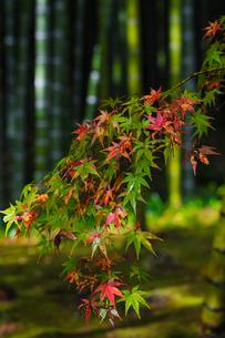 Acer leaves, Bamboo Grove, Tenryuji Temple, Arashiyama, Kyoto, Japan, Asiaの写真素材 [FYI03792494]