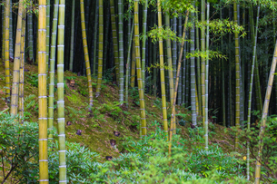 Bamboo Grove, Tenryuji Temple, Arashiyama, Kyoto, Japan, Asiaの写真素材 [FYI03792496]