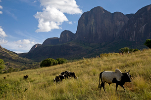 Zebu cattle, Tsaranoro Massif, southern Madagascar, Africaの写真素材 [FYI03792563]