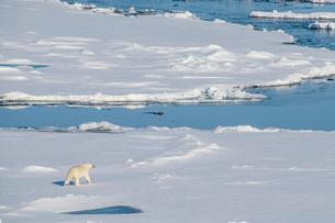 Polar bear (Ursus maritimus) in the high arctic near the North Pole, Arctic, Russia, Europeの写真素材 [FYI03792584]