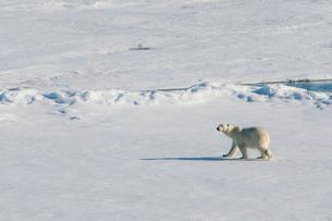 Polar bear (Ursus maritimus) in the high arctic near the North Pole, Arctic, Russia, Europeの写真素材 [FYI03792585]