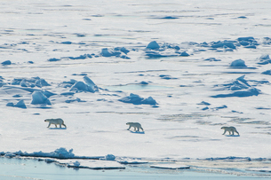 Mother Polar bear (Ursus maritimus) with their cubs in the high arctic near the North Pole, Arctic,の写真素材 [FYI03792586]