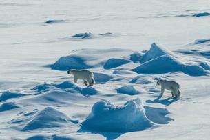 Polar bear cubs(Ursus maritimus) in the high arctic near the North Pole, Arctic, Russia, Europeの写真素材 [FYI03792587]