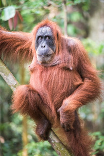 Funny photo of an Orangutan (Pongo Abelii) in the jungle near Bukit Lawang, Gunung Leuser National Pの写真素材 [FYI03792867]