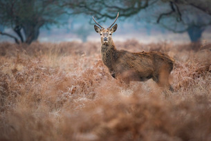 Red Deer (Cervus elaphus) in Richmond Park, Richmond, London, England, United Kingdom, Europeの写真素材 [FYI03792951]