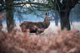 Red Deer (Cervus elaphus) in Richmond Park, Richmond, London, England, United Kingdom, Europeの写真素材 [FYI03792954]