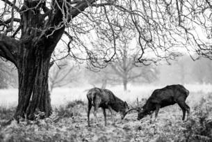 Red Deer (Cervus elaphus) in Richmond Park, Richmond, London, England, United Kingdom, Europeの写真素材 [FYI03792955]