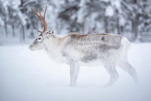 Reindeer at Torassieppi Reindeer Farm, Lapland, Finland, Europeの写真素材 [FYI03792961]