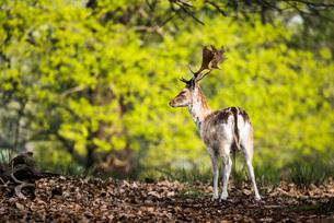 Roe Deer in Richmond Park, London, England, United Kingdom, Europeの写真素材 [FYI03793019]