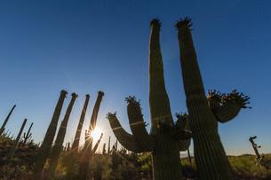SuNoise on saguaro cactus in bloom (Carnegiea gigantea), Sweetwater Preserve, Tucson, Arizona, Uniteの写真素材 [FYI03793062]
