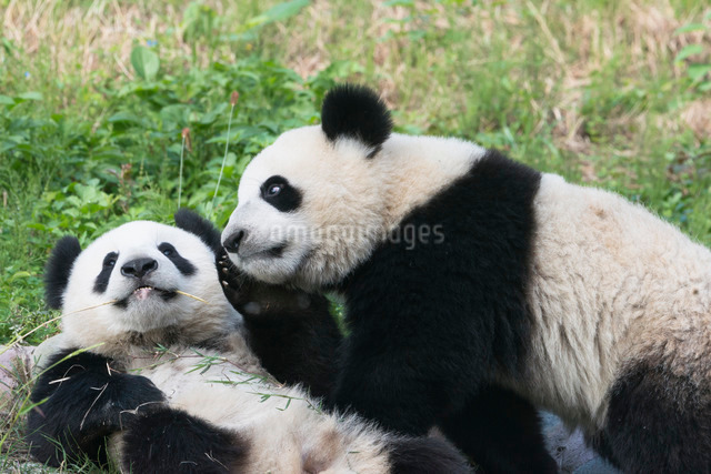 Two year old young giant Pandas (Ailuropoda melanoleuca), Chengdu, Sichuan, China, Asiaの写真素材 [FYI03793168]