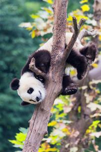Two year old young Giant Panda (Ailuropoda melanoleuca) climbing on a tree, Chengdu, Sichuan, China,の写真素材 [FYI03793169]