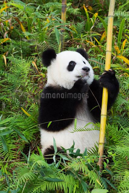 Two year old young Giant Panda (Ailuropoda melanoleuca), Chengdu, Sichuan, China, Asiaの写真素材 [FYI03793170]