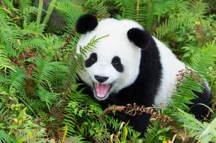 Two year old young Giant Panda (Ailuropoda melanoleuca), Chengdu, Sichuan, China, Asiaの写真素材 [FYI03793171]