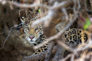 Young Jaguar (Panthera onca) in a tree, Cuiaba River, Pantanal, Mato Grosso, Brazil, South Americaの写真素材 [FYI03793172]