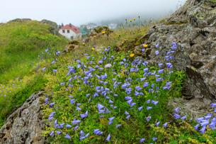 Purple wildflowers on rock by Vopnafjordur, Iceland, Europeの写真素材 [FYI03793523]