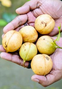 Nutmegs, Spice Islands, Moluccas (Maluku), Indonesia, Southeast Asia, Asiaの写真素材 [FYI03793601]