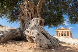 An olive tree frames the ancient Temple of Concordia in the archeological site of Valle dei Templi,の写真素材 [FYI03793624]