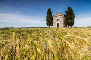 Fields of ears of corn on the gentle green hills of Val d'Orcia, UNESCO World Heritage Site, Provincの写真素材 [FYI03793631]